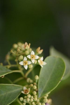 Santalum ellipticum (Santalaceae)