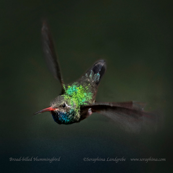 _DSC4347Broad-billed Hummingbird Takeoff.jpg