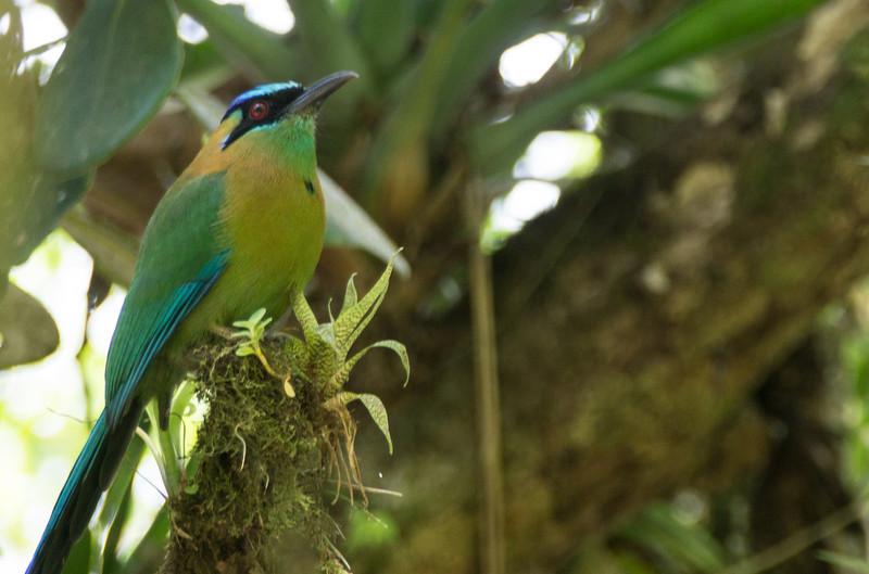 Blue-crowned Motmot - Monteverde Cloud Forest Reserve, Monteverde, Costa Rica