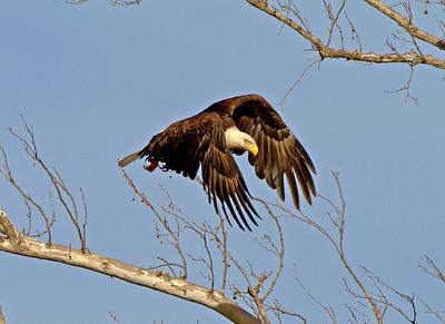 Central Texas Bald Eagles