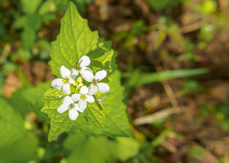 Garlic Mustard (Alliaria petiolata) flowers from Ferrettie-Baugo Creek County Park, Osceola, IN