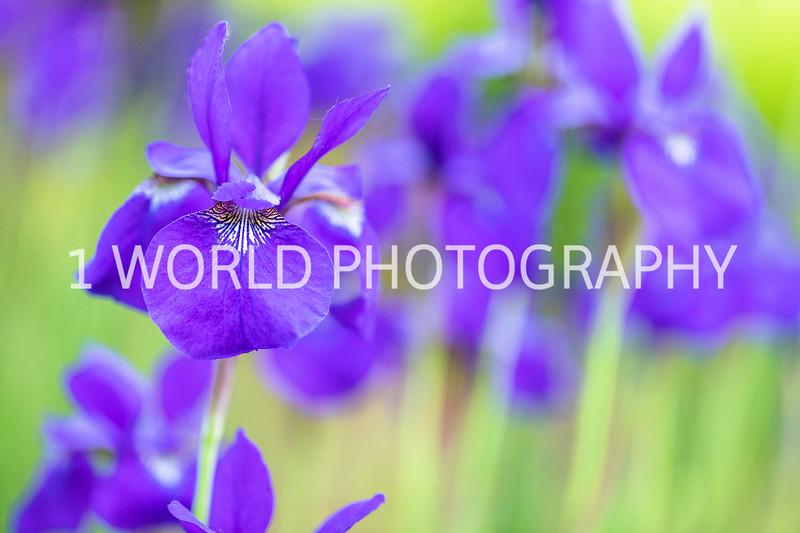 201906062019_6 Neighborhood Irises313--170.jpg