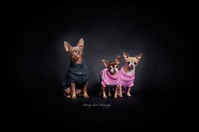 3-chihuahuas