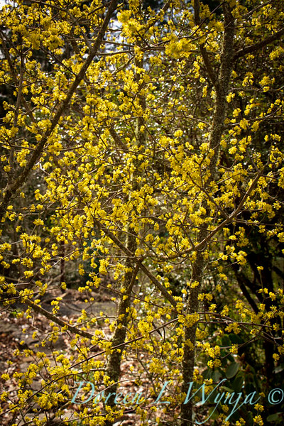 Cornus mas Golden Glory_024.jpg