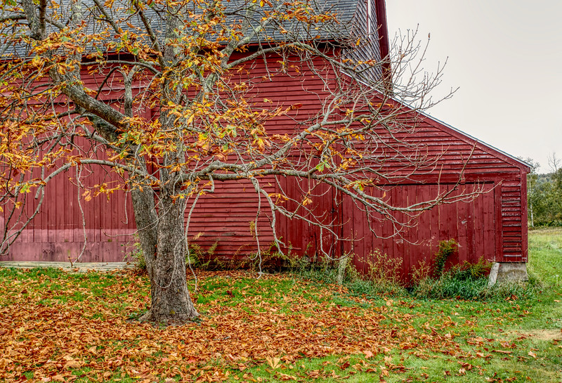 Untitled,Chestnut Tree,Autumn,Brooklin Me, cropped.jpg