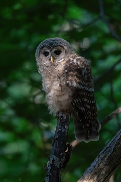 #1678 Barred Owlet