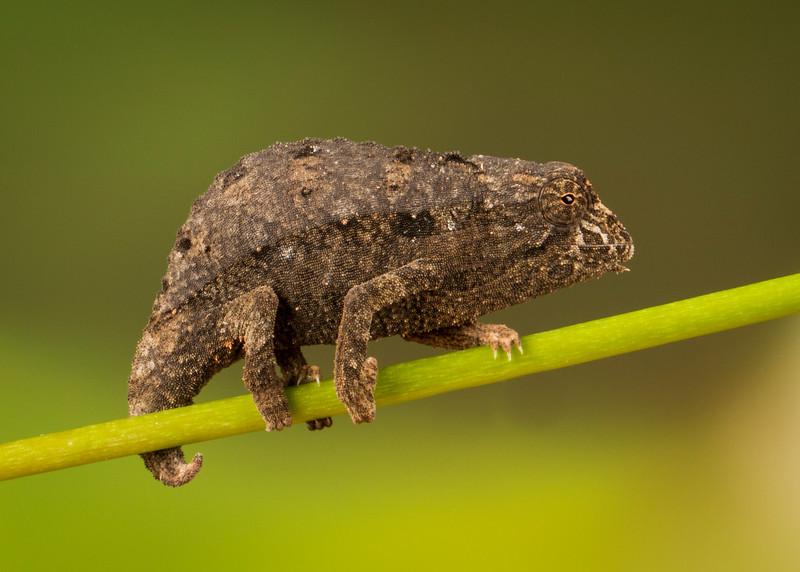 "Pygmy Chameleon ""Tuck"""