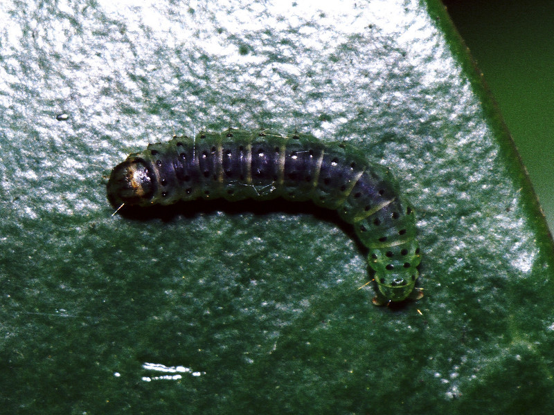 Tineidae (Lepidoptera) on Melicope clusiifolia, West Maui