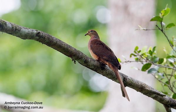 Amboyna Cuckoo-Dove Macropygia amboinensis