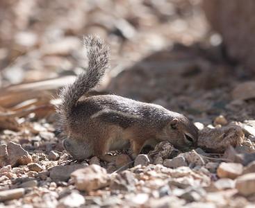 "Harris"" Antelope Ground Squirrel"