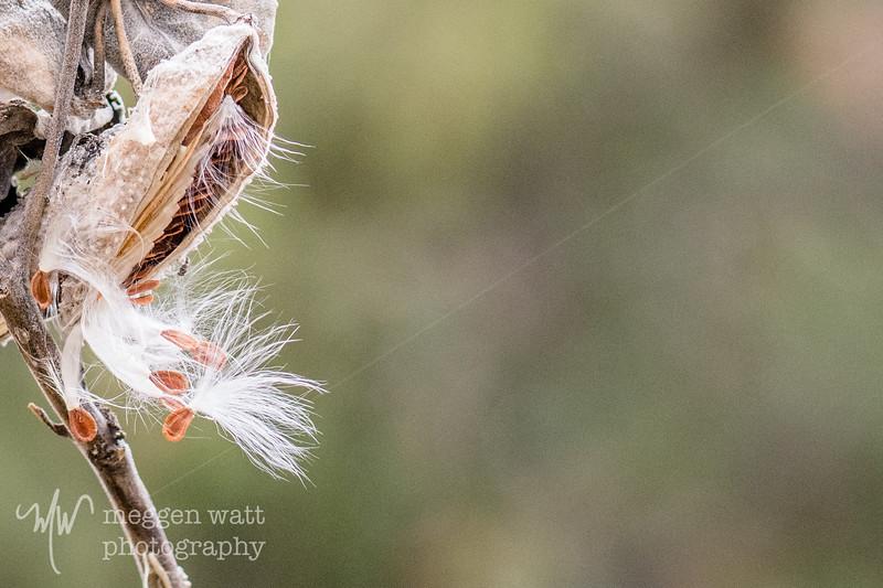 milkweed seeds-6194.jpg