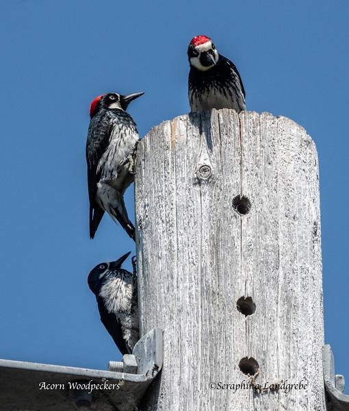 _DSC9870Three Acorn Woodpeckers.jpg