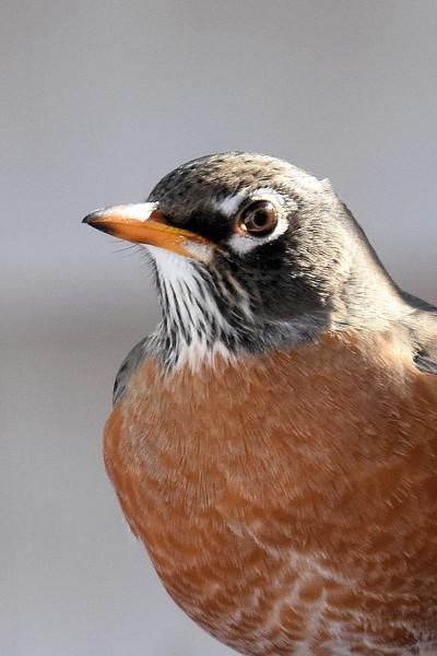 #1259  American Robin