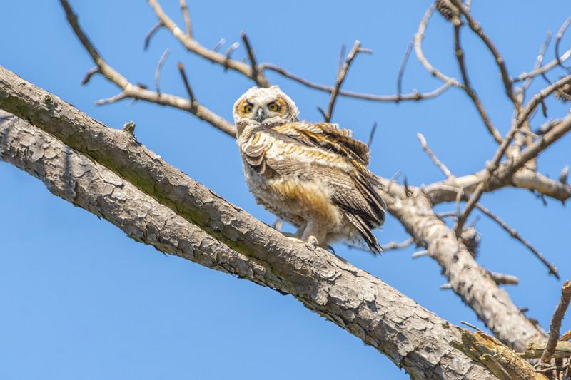 Great Horned Owl Chick Branching.jpg