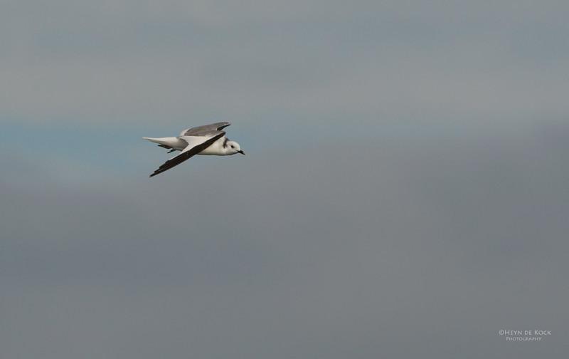 Sabine's Gull, Cape Town Pelagic, WC, SA, Jan 2014-1.jpg
