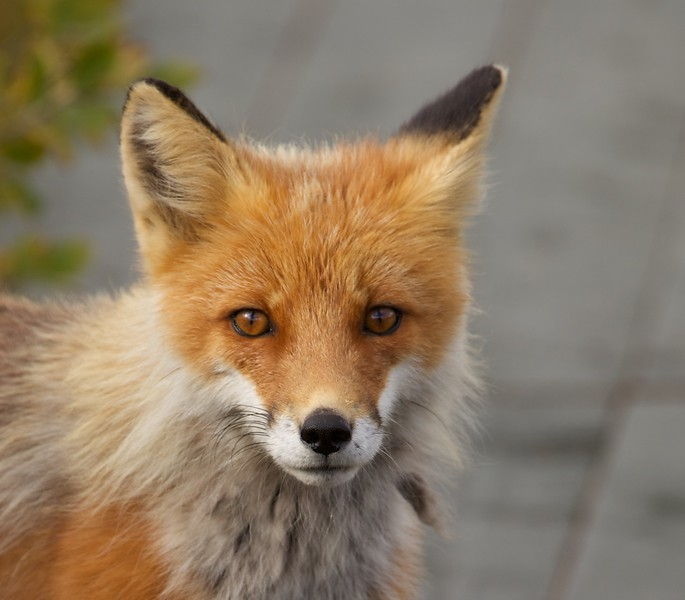 Toolik-Bridge-fox-closeup 1784.jpg