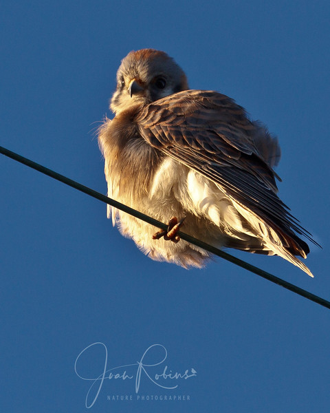 At the far corner just after the intersection with the path to Hamilton--spotted this Kestrel.
