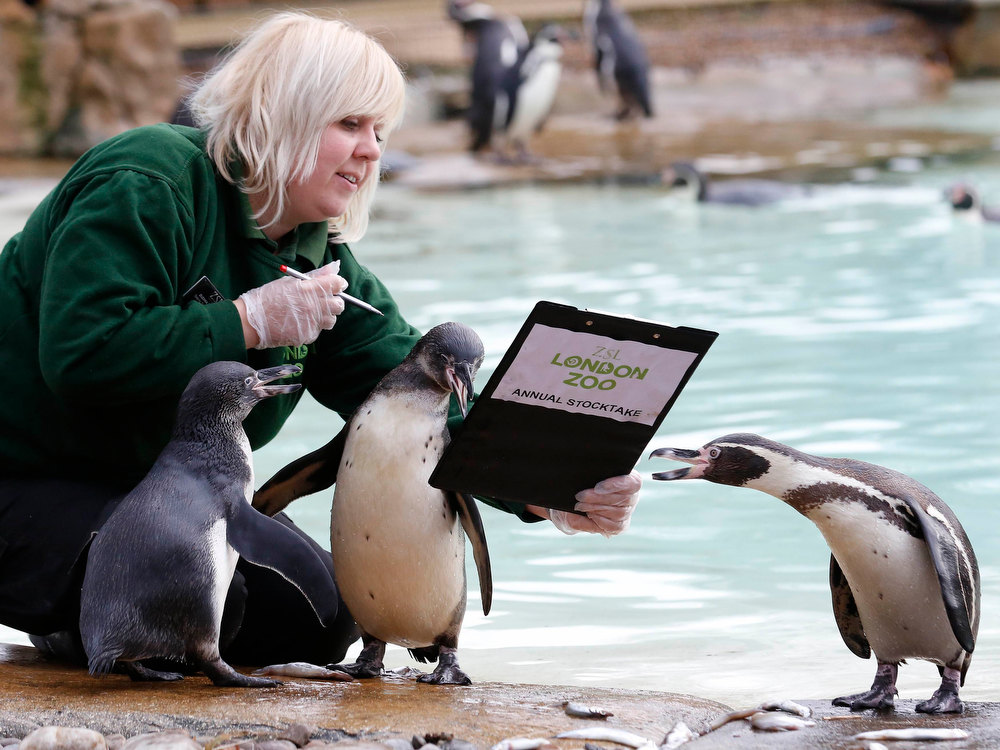 . Zoo keeper Zuzana Matyasova poses with penguins during the annual stock take at London Zoo January 3, 2013. The compulsory count of more than 17,500 animals is noted annually as part of the zoo\'s licence, and the information is logged with the International Species Information System (ISIS), used for managing international breeding programs of endangered animals.  REUTERS/Luke MacGregor