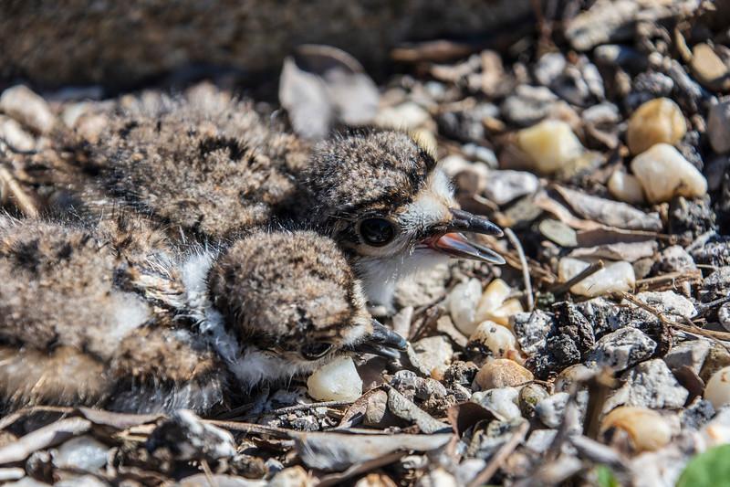 Killdeer-twobabies-nest2.jpg