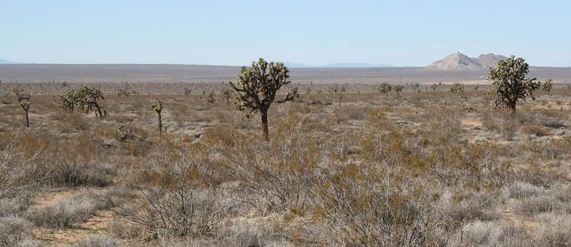 Creosote Bush (Larrea tridentata) and Joshua Trees (Yucca brevifolia), Highway 395 near Kramer Junction, CA 12 Feb 2008