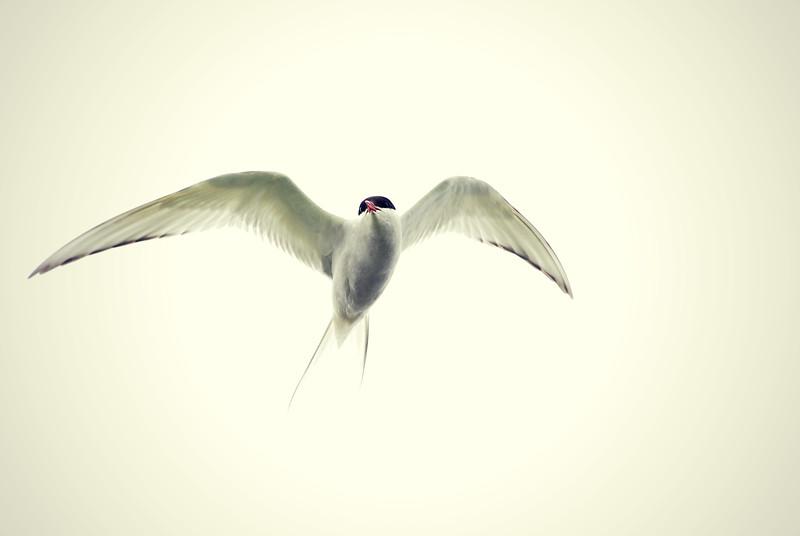 Arctic Tern, Grimsey Island