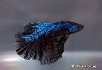 sold bettas