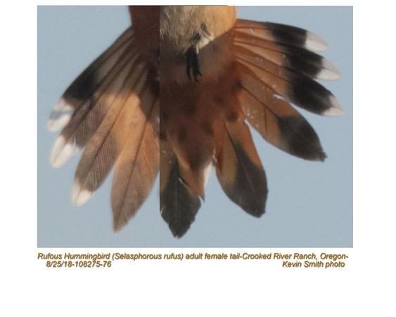 Rufous Hummingbird-tail F108275-76.jpg