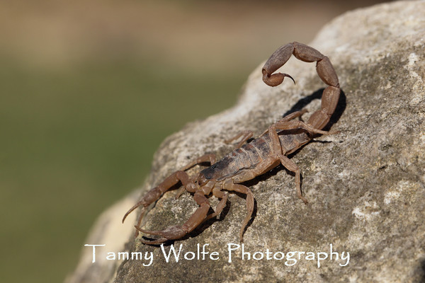 Scorpion, Striped Bark