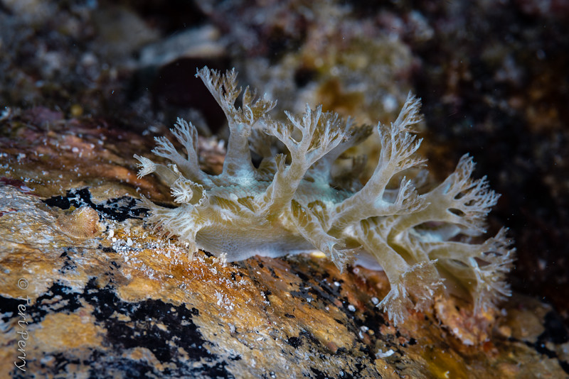 NUDIBRANCH - Marionia sp 15-5683-Edit.jpg