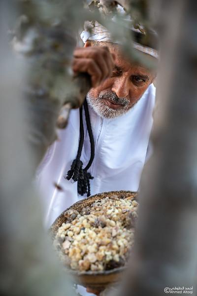 Thamrait 097 - frankincense - Dhofar.jpg