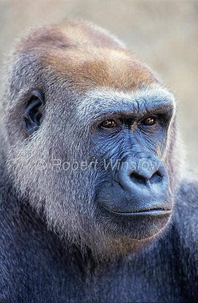 Primates - Western Lowland Gorillas