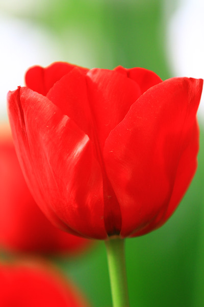 tulips-3084.jpg