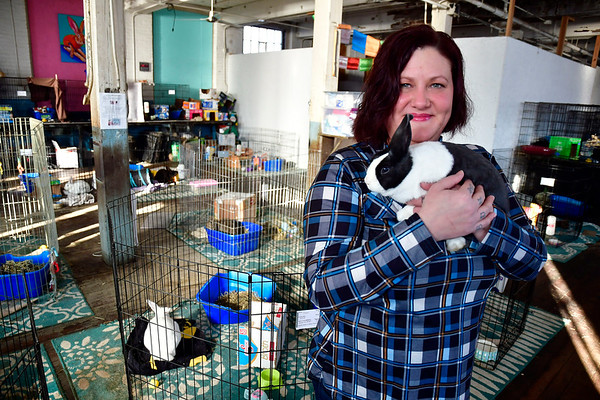 1/15/2020 Mike Orazzi | Staff Michelle Bosse, director of Every Bunny Counts, holds female bunny Kelly at their location in the Sessions Building on Riverside Avenue in Bristol on Wednesday.