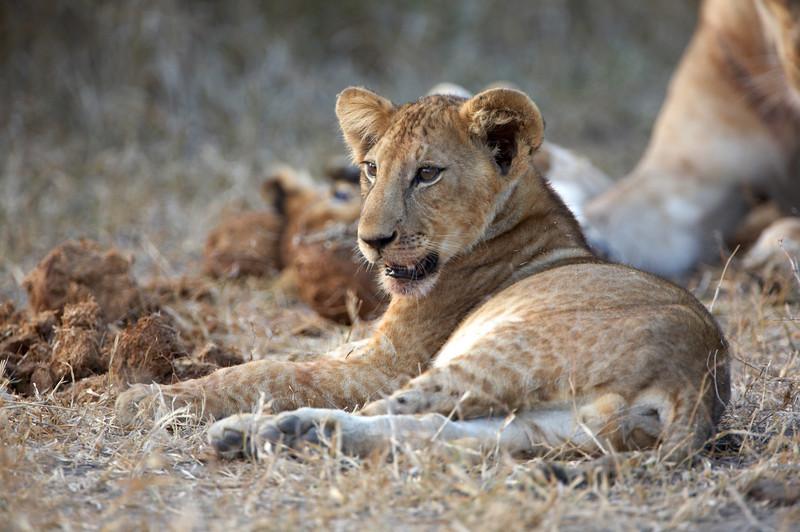 077 Lion Cub - 2123.jpg