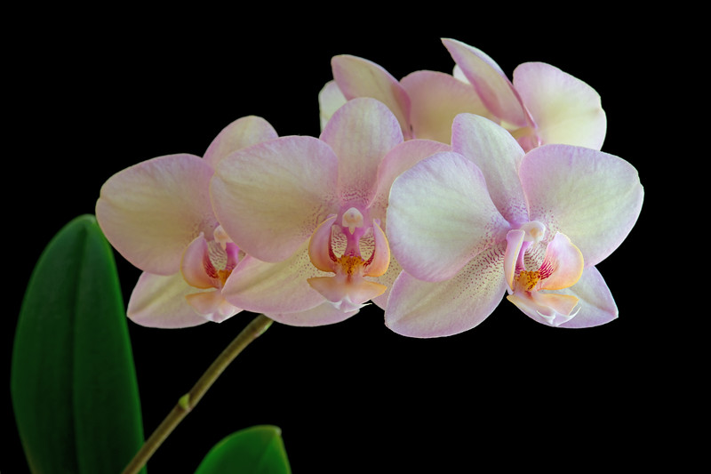 Orchid Bract