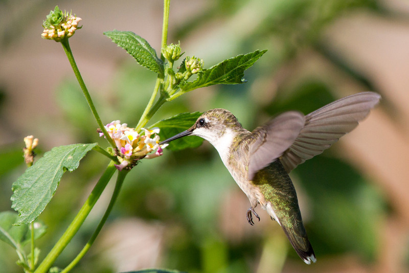 hummingbirdandlantana13.jpg