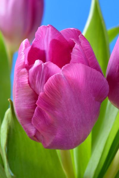 tulipPink.jpg
