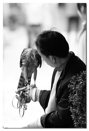 Young people in LiJiang like to train Hawk captured in the nearby moutains