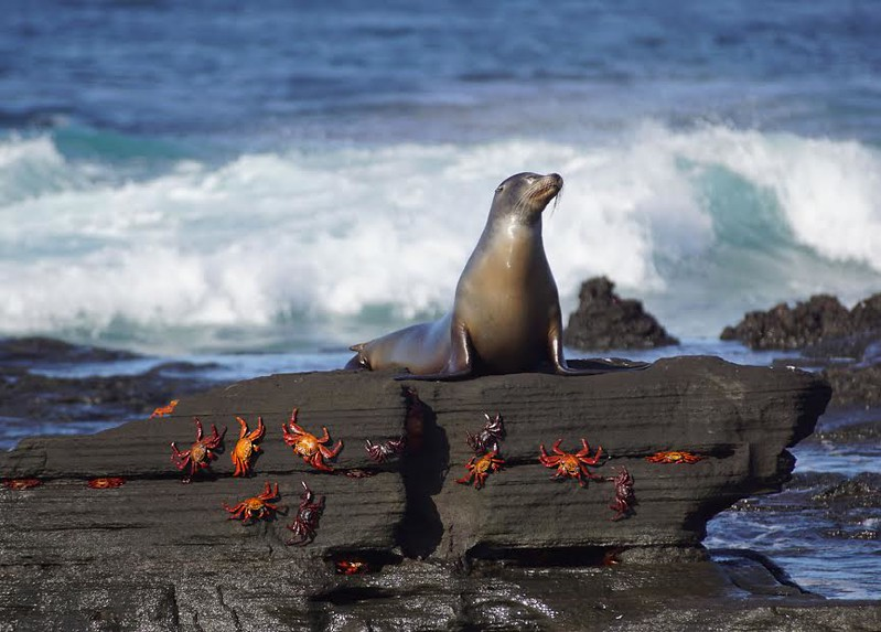 Seal on a rock covered with orange crabs on the Galapagos Islands.