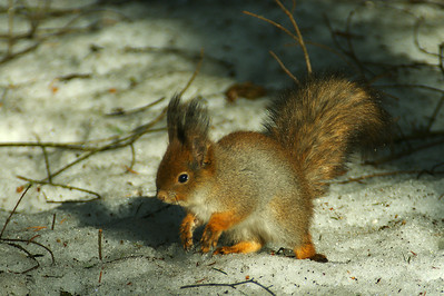 Red Squirrel - Orava