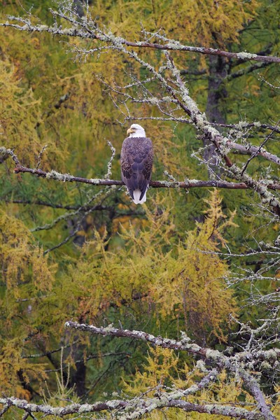 Bald Eagle CR133 Sax-Zim Bog MN IMG_3147.jpg