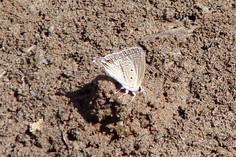 Euchrysops osiris (African Cupid) 604.