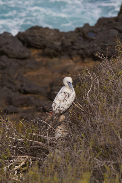 Young Red Footed Booblie.jpg