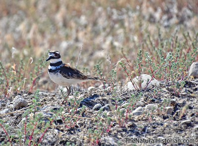 Killdeer Natural History