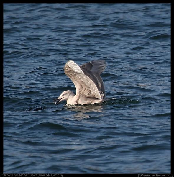Glaucous-winged Gull, Pelagic Trip Pacific Ocean, San Diego County, California, March 2009