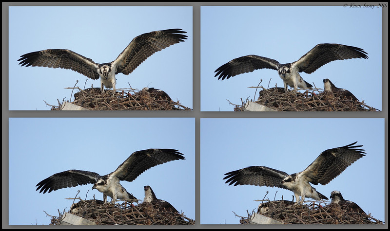 Collage of osprey's first flying lessons as mom  looks on, Robb Field, San Diego River, San Diego County, California, May 2010