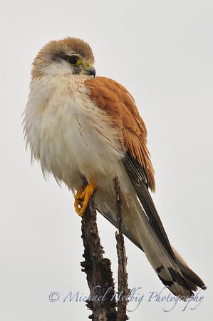 Misc. Birds of Prey
