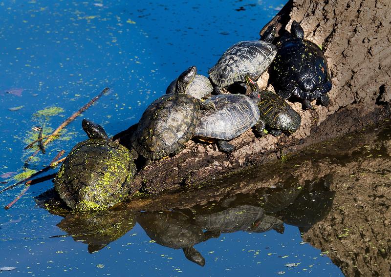 gang of turtles.jpg