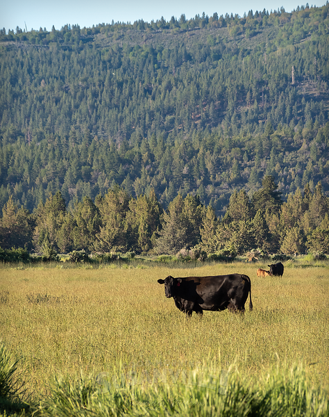 060618cows.png