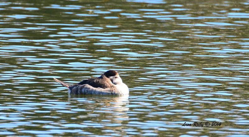 Ruddy Duck - 12/29/2014 - Santee Lakes